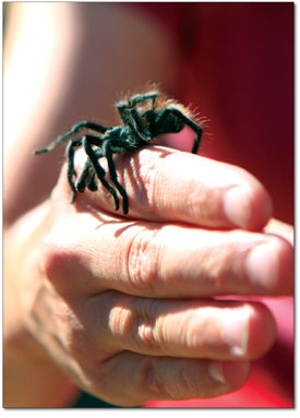 Naturalist, Karen Hickerson handles a friendly tarantula found on a nearby footpath.