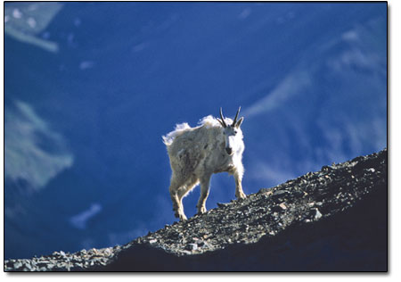 A mountain goat cruises a ridgeline at nearly 13,500 feet.
