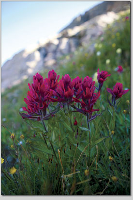 A lush bundle of Indian paintbrush grows along a sunny slope.